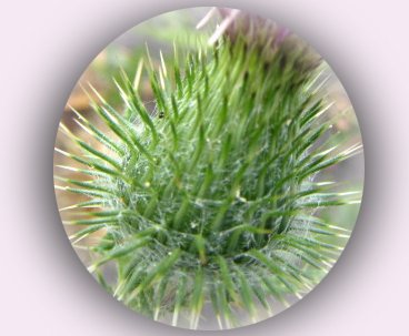 アザミの花茎.jpg