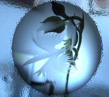 鷺草の花.jpg